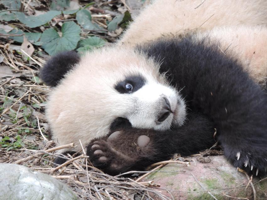 binbin li panda footprint image 3